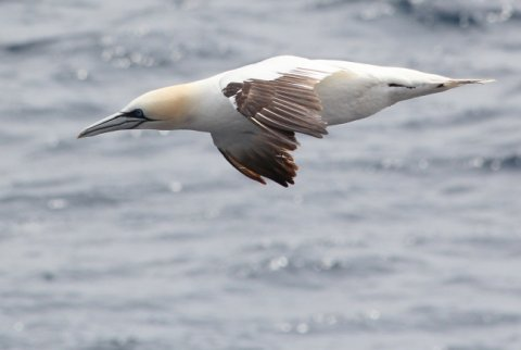 Gannets are seen on a daily basis, with many coming very close to the ship!