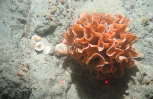 Ross Coral